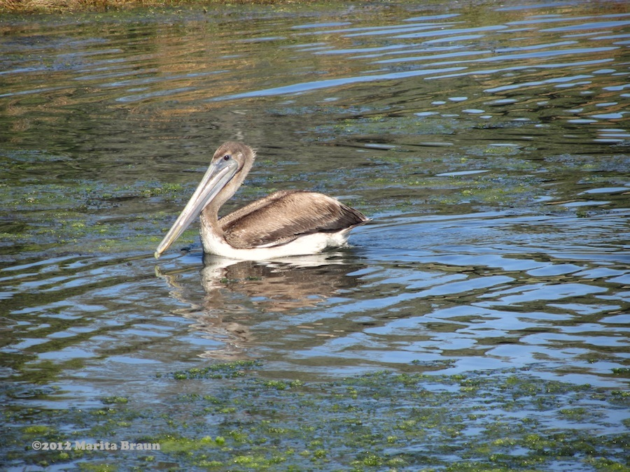 pelican at UCSB lagoon