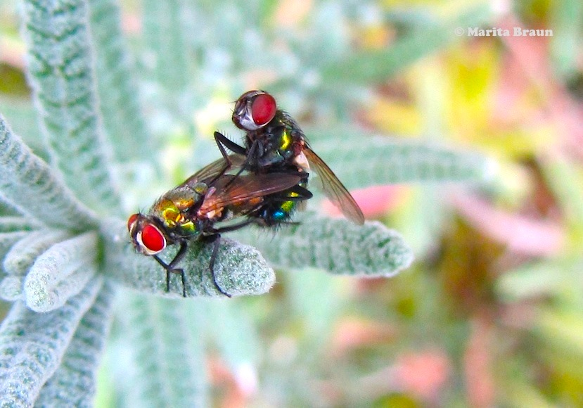 two colorful flies mating