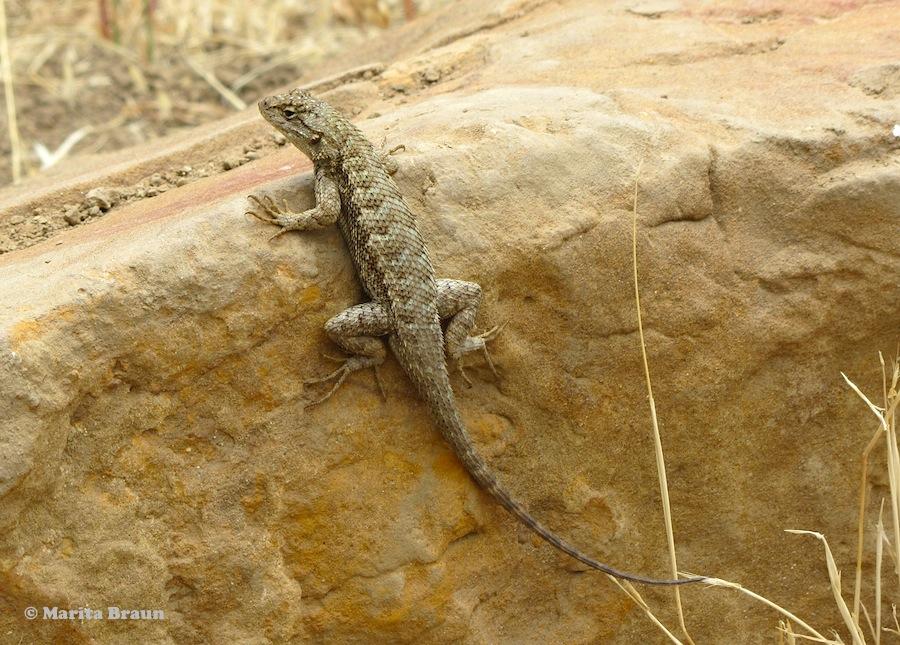 brown lizard sitting on rock