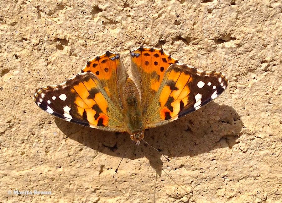 butterfly, Vanessa cardui, Vanessa del cardo
