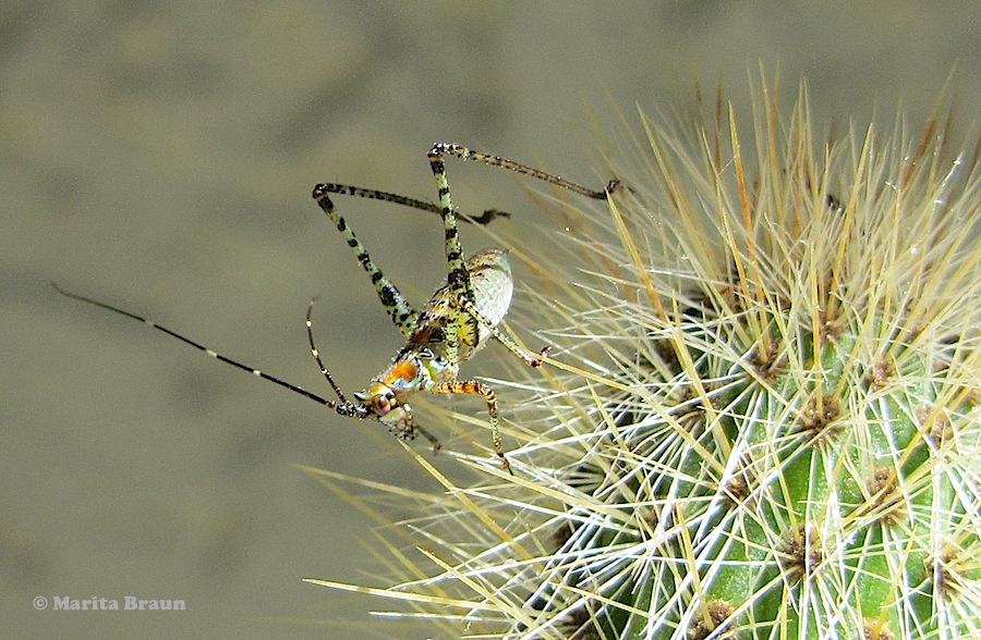 colorful hopper on cactus